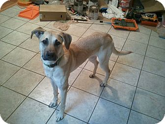 Great Dane/Shepherd (Unknown Type) Mix Dog for adoption in Alamosa, Colorado - Prince