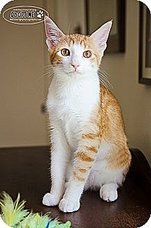 Domestic Shorthair Cat for adoption in Westminster, Maryland - Bonnie