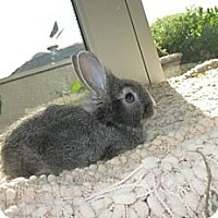 Lionhead Mix for adoption in Los Angeles, California - Lyciana