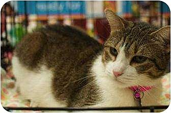 Domestic Shorthair Cat for adoption in New York, New York - Muffin