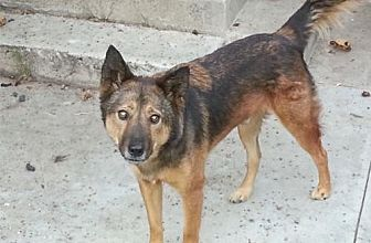 German Shepherd Dog Mix Dog for adoption in Newport Beach, California - Washington