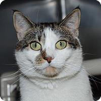 Adopt A Pet :: Cookie - Brick, NJ