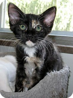 Calico Kitten for adoption in Rutledge, Tennessee - Frizzy