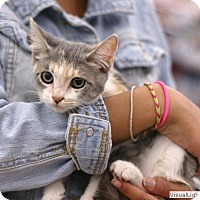 Domestic Shorthair Kitten for adoption in Westchester, California - Olive