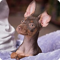 Adopt A Pet :: Sofie - League City, TX