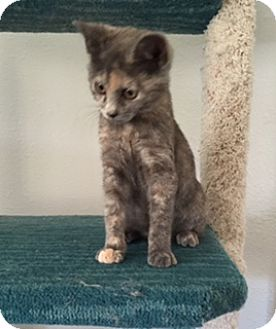 Calico Kitten for adoption in Brea, California - HOLLY