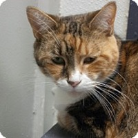 Calico Cat for adoption in Martinsville, Indiana - Sydney