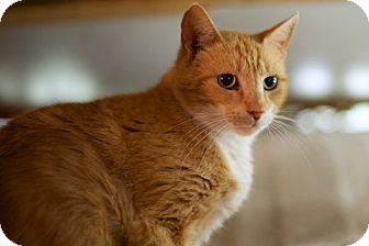 Domestic Shorthair Cat for adoption in Charlotte, North Carolina - Sunsine