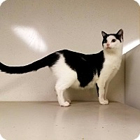 Domestic Shorthair Cat for adoption in Indianola, Iowa - C-6