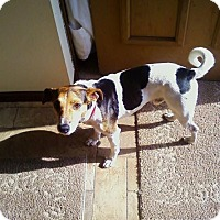 Jack Russell Terrier Dog for adoption in Pataskala, Ohio - Buddy