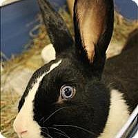 Adopt A Pet :: Broccoli - Concord, NH