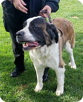 St. Bernard Dog for adoption in Lake Forest, California - Ruby