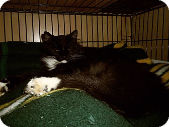 Domestic Mediumhair Cat for adoption in Medford, Wisconsin - GAVIN