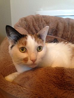 Calico Cat for adoption in Los Angeles, California - Ginger