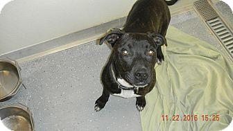 Pit Bull Terrier Mix Dog for adoption in Sandusky, Ohio - MOJO