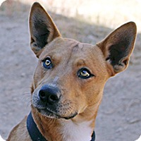 Basenji Mix Dog for adoption in Phoenix, Arizona - Chester