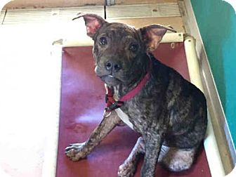 Pit Bull Terrier Mix Dog for adoption in Texas City, Texas - LOGAN