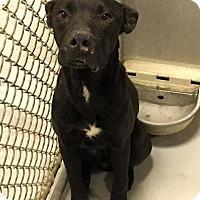 Adopt A Pet :: Callum - Whiteville, NC