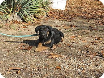 German Shepherd Dog Mix Puppy for adoption in Oakland, Arkansas - Jacqueline