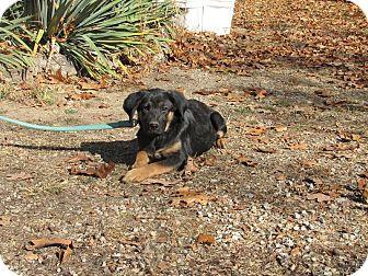 German Shepherd Dog Mix Puppy for adoption in Oakland, Arkansas - Jacqueline