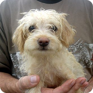 Toy Poodle/Terrier (Unknown Type, Small) Mix Puppy for adoption in baltimore, Maryland - Buttercup