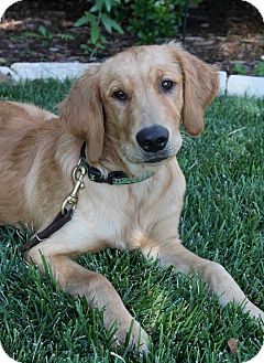 Golden Retriever Dog for adoption in Wichita, Kansas - Duke
