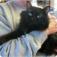 Adopt A Pet :: BooBoo Bear - Plainville, MA