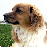 Adopt A Pet :: Kato cutest little guy - Sacramento, CA