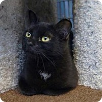 Domestic Shorthair Cat for adoption in New Milford, Connecticut - Half Pint