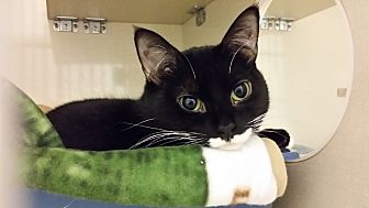 Domestic Shorthair Kitten for adoption in Westbury, New York - Louie