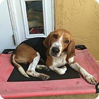 Adopt A Pet :: Amos III - Tampa, FL