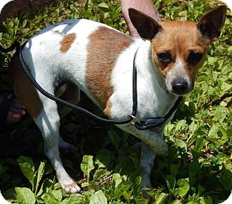 Chihuahua Dog for adoption in SUSSEX, New Jersey - Tammy(9 lb) Sweetheart!