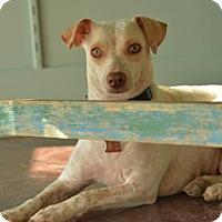 Adopt A Pet :: Clover - San Antonio, TX