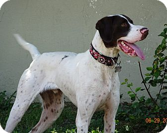Pointer/Setter (Unknown Type) Mix Dog for adoption in Freeport, New York - Bruno