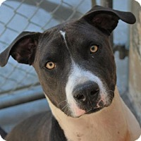 Adopt A Pet :: SPIKE-Neutered $45 low fee - Red Bluff, CA