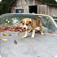 Adopt A Pet :: Juno - Hohenwald, TN