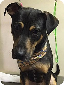 Coonhound (Unknown Type)/Shepherd (Unknown Type) Mix Dog for adoption in Farmington Hills, Michigan - Dusty