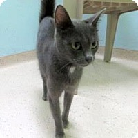 Domestic Shorthair Cat for adoption in Janesville, Wisconsin - Anise