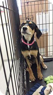 Hound (Unknown Type)/Shepherd (Unknown Type) Mix Puppy for adoption in Joplin, Missouri - Lori 110441
