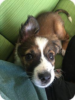 Border Collie/Sheltie, Shetland Sheepdog Mix Puppy for adoption in Glastonbury, Connecticut - Harper~adopted!!