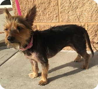 Yorkie, Yorkshire Terrier Mix Dog for adoption in Summerville, South Carolina - Beauty