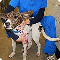 Hound (Unknown Type)/Terrier (Unknown Type, Small) Mix Dog for adoption in Exton, Pennsylvania - Hayley (Foster)