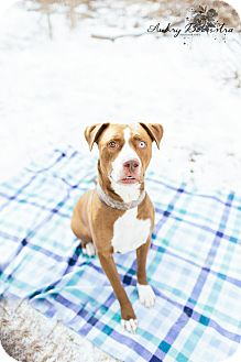 Pit Bull Terrier Mix Dog for adoption in Stanton, Michigan - Neo