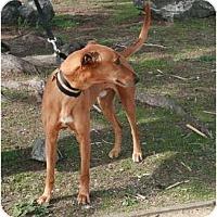 Adopt A Pet :: Cruz - Santa Rosa, CA