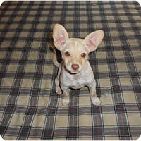 Adopt A Pet :: Sassy - San Diego, CA