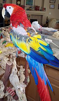 Macaw for adoption in Concord, California - Jonnie