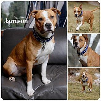Pit Bull Terrier Dog for adoption in Sioux Falls, South Dakota - Jamison