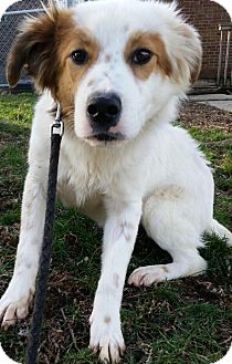 Collie Mix Puppy for adoption in South Park, Pennsylvania - Henry Freckles