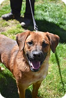 Labrador Retriever Dog for adoption in Danbury, Connecticut - Duke