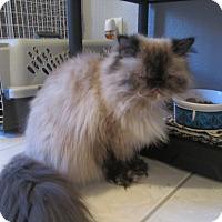Adopt A Pet :: Pearl - Gilbert, AZ